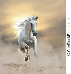 white andalusian stallion in sunset