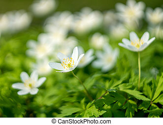 white anemone flower on a blurred background. Shallow depth of field
