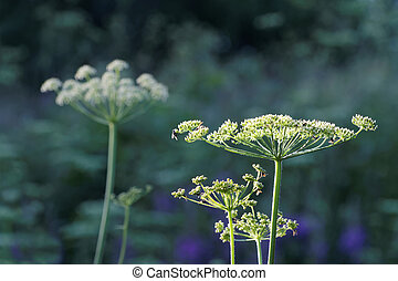 White angelica flowers, grass and trees in the background