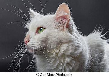 White angora cat 03