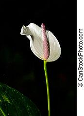 White Anthurium flower on black background