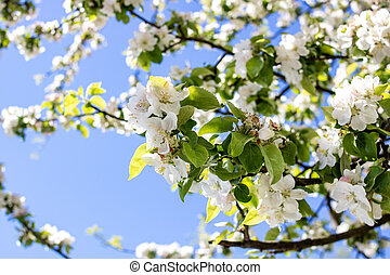 White apple blossoms against the blue sky