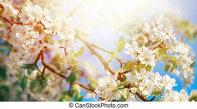 White apple blossoms in dreamy sunlight
