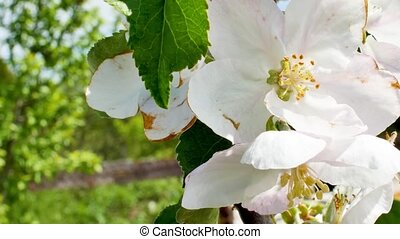 White apple flower buds on a branch. - Close up for white ...
