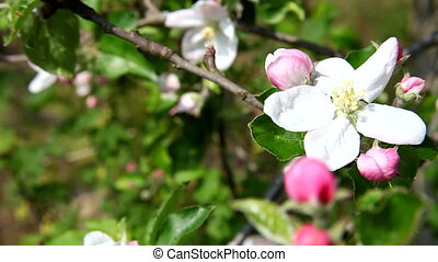 White Apple Flowers on the spring