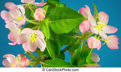 White Apple Tree Flowers - White Flowers Blossoms on the...