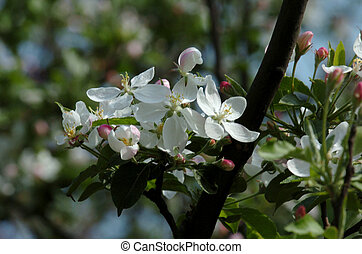 white apricot flowers
