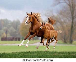 white arab horse runs gallop in summer time