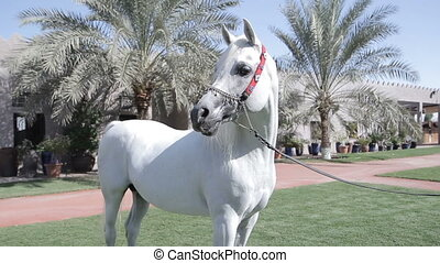 White Arab horse stays on a green meadow