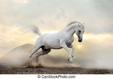 white arab stallion in dust