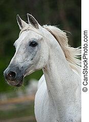 white arab stallion portrait in movement