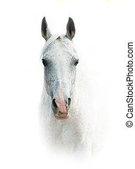 White arabian horse over a white background frontview