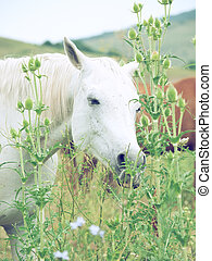 white arabian mares at the pasture
