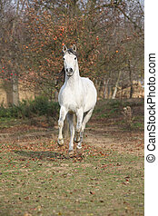White arabian stallion running alone in autumn