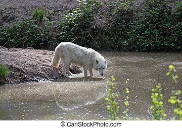 White arctic wolf (Canis lupus arctos)