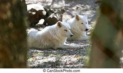 White Arctic Wolf Couple Closeup - White Arctic Wolf (Canis...