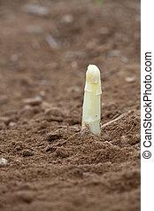 white asparagus on a field