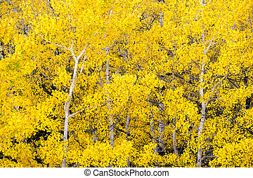 White Aspen Trees Forest Fall Colors Leaves Changing Autumn...