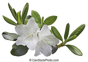 White Azela Flower - White Azela flower and leaf on branch,...