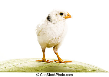 White baby Chicken looking to the right