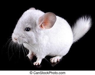 White baby  ebonite chinchilla on black