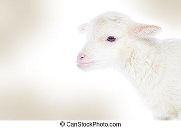 White baby lamb - Closeup of cute lamb on the white ...