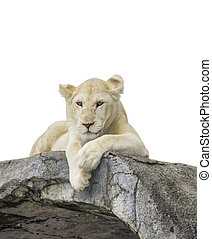 White baby lion with isolated white background