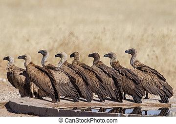 white-backed, national, pleitegeier, park, namibia, etosha