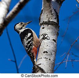 white-backed, pájaro carpintero