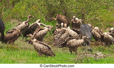 White-backed vulture eating - White-backed vultures eating a...
