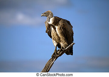 White-backed Vulture (Gyps africanus) on the dead tree. ...