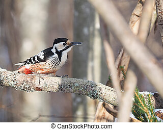 white-backed woodpecker in the woods