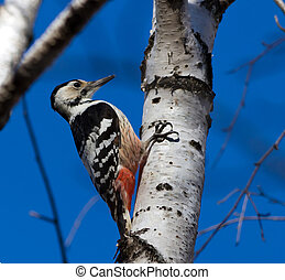 white-backed woodpecker on the birch