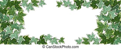 White background half covered by common ivy leaves