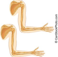 white background vector illustration of a humerus