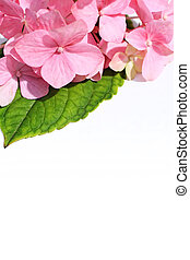 White background with pink hortensia