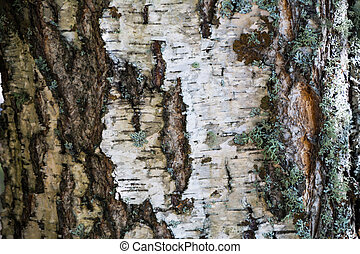 White bark and moss background. Birch bark background. Birch bark texture. Tree bark background. Bark background. Bark texture. Tree bark texture