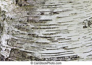 White bark closeup at the base of a poplar tree trunk.