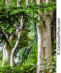 White Bark on Birch Trees in Green Forest