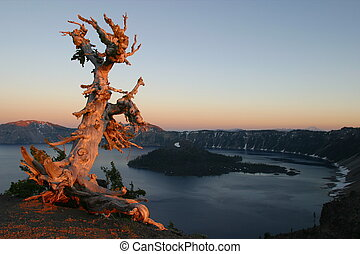 White Bark Pine at sunset overlooking Crater Lake.