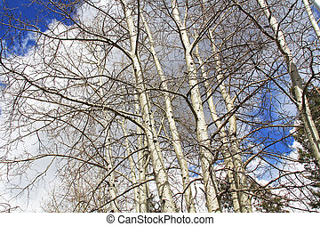 White Bark Trees in Ski Valley Mt. Lemmon