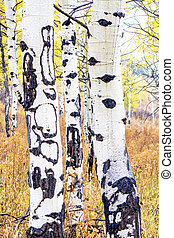 Three colorful Aspens in Autumn forest