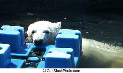White bear play in water