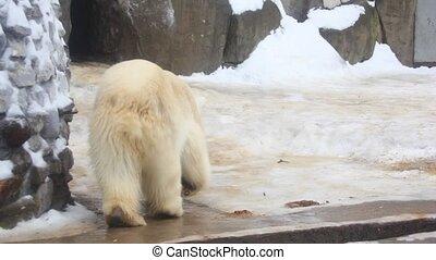 white bear rotating dancing - White bear rotating in zoo.