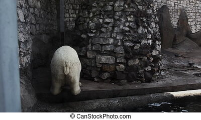 White bear urinate in zoo and walk out