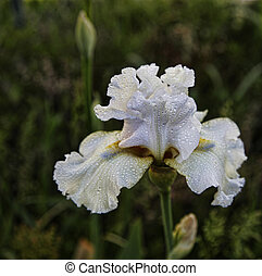 White Bearded Iris with Dew Drops