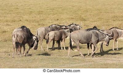 Eastern white-bearded wildebeest (Connochaetes taurinus albojubatus), Amboseli National Park, Kenya