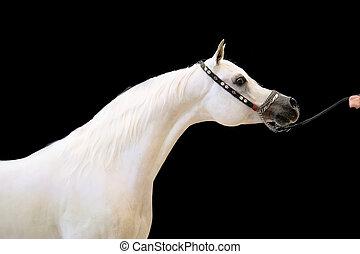 white beautiful arabian stallion against black background....