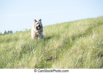 White beautiful furry dog with long hair in the field on summer day