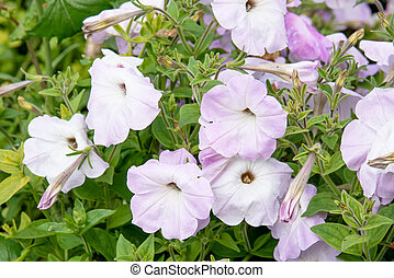 White beautiful petunias grow in the garden on sunny day